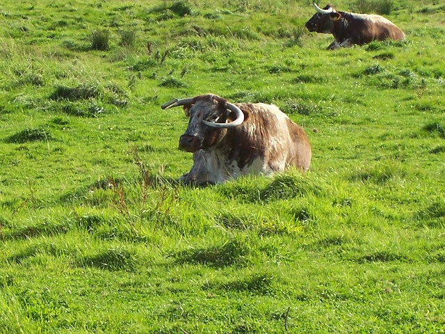 english-longhorn-cattle-277355_640